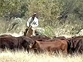 Outback cattle, Northern Territory