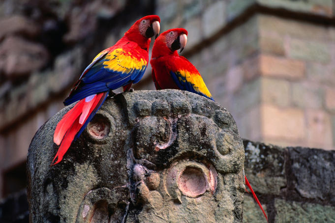A pair of Scarlet Macaw (Ara Macao) perched on a macaw carving.
