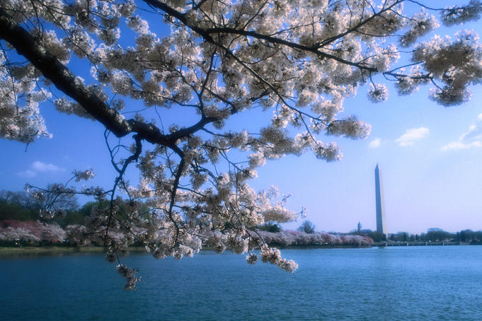The Washington Monument rises above the Tidal Basin, as seen through the flowering cherry blossoms on the Basin's promenade- Washington DC