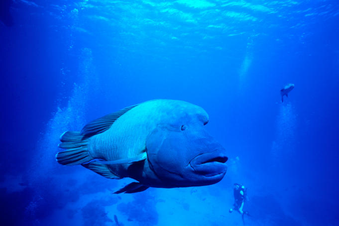 Maori Wrasse (Oxycheilinus digrammus) at Cod Hole, Great Barrier Reef.