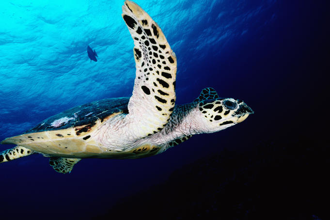 Hawksbill Turtle swimming in Ema Reef, Kimbe Bay.