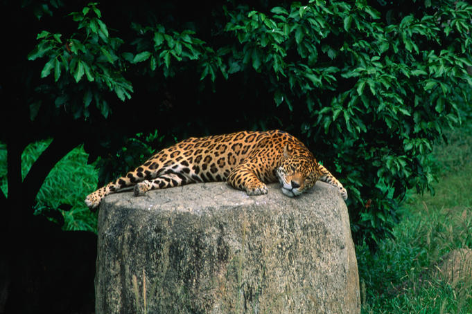 Let sleeping jaquars lie: snoozing cat basking on a rock in the Parque del Este, Caracas.