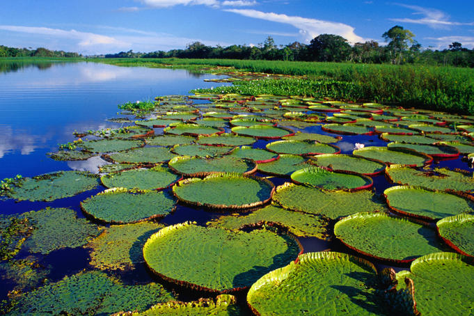 Magnificent water lillies on the Yanayacu River in the Amazon Basin.