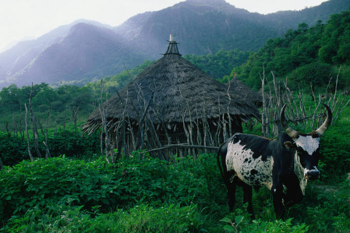 A local cow grazes amid the verdant vegetation in the Goda Mountains, a tiny patch of green and an escape from the heat of the lowlands