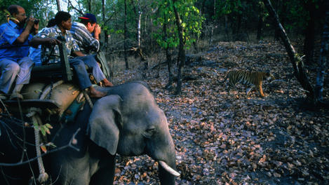A tiger safari on the backs of elephants through the Bandhavgarh National Park.