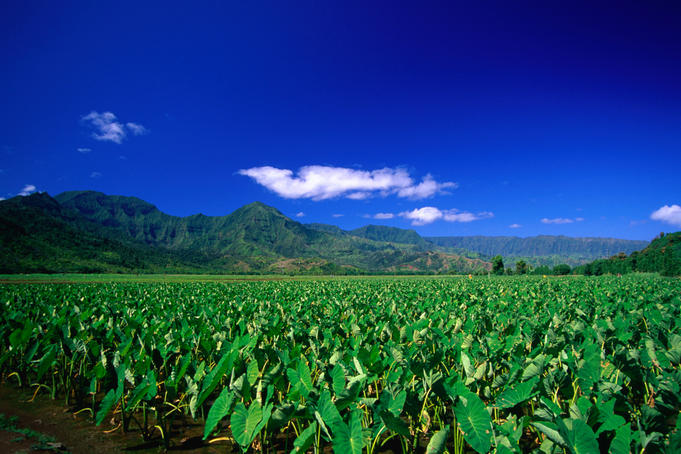 The taro fields of Hanalei.