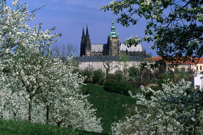Prague Castle and cherry blossoms of Petrin Hill.
