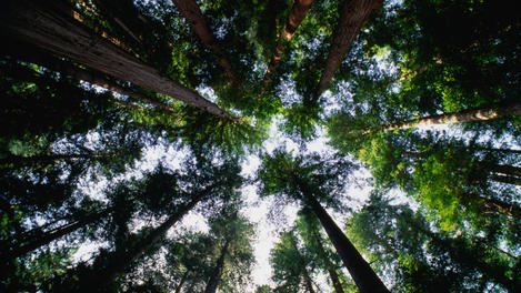 Tall canopy, Redwood National Park