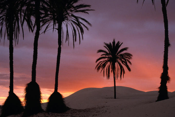 Palm trees and sand dunes at dawn.