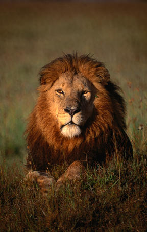 Lion (Panthera leo).