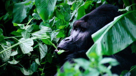 Mountain gorillas, Congo