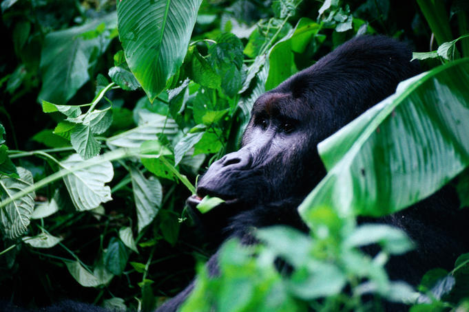 The Mountain gorillas are found in the Virunga volcanoes that separate Zaire from Rwanda and Uganda