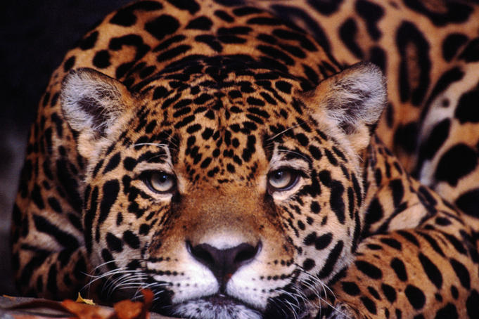 the endangered species study on jaguars in central and south america Jaguar corridors in central and south america are helping the sumo wrestler of the animal kingdom survive  it's been given some protected habitat and endangered species status, which is the .