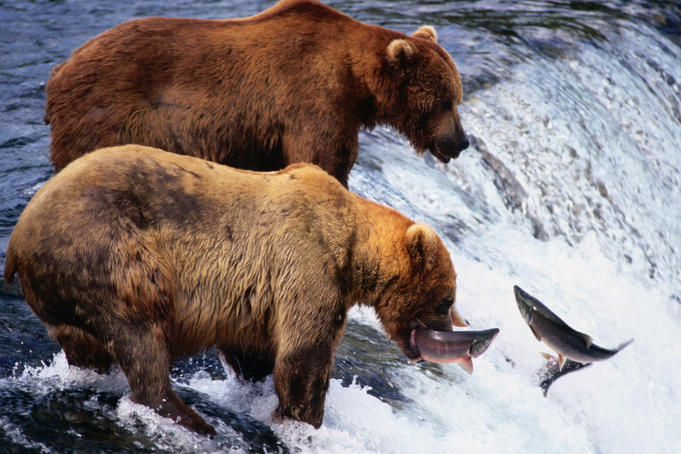 Alaskan Brown Bears (Ursus arctos) at the popular fishing spot in Katmai National Park