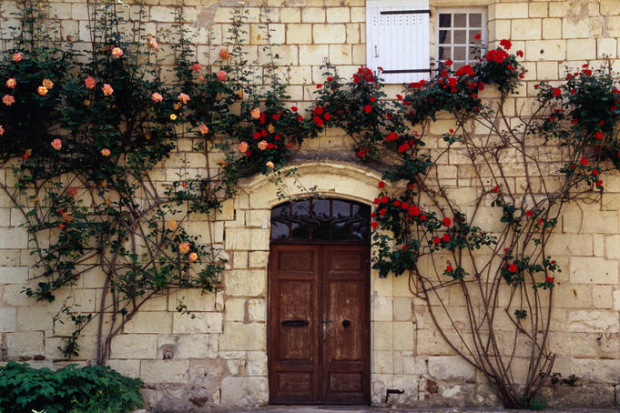 Roses climbing over front of house in the Loire Valley.