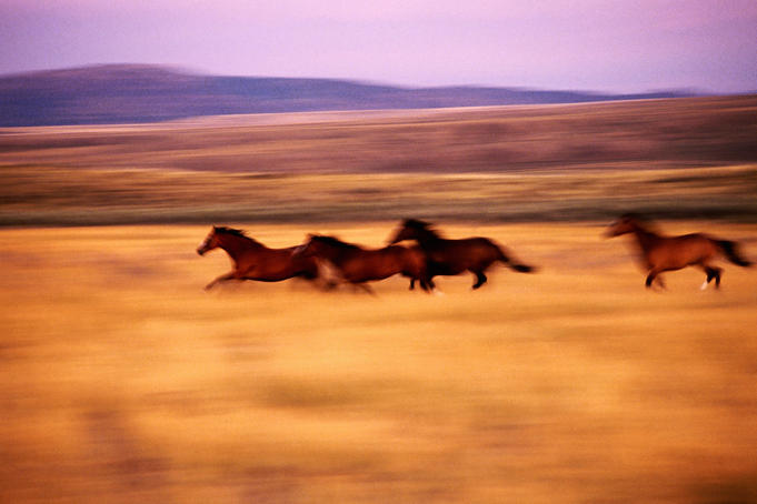 Herd of wild quarter horses.