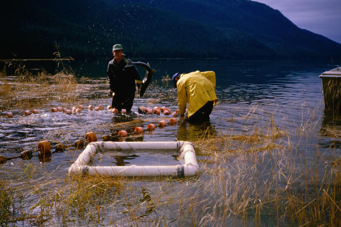 Chum salmon netting at Sitka Sound deep Inlet.