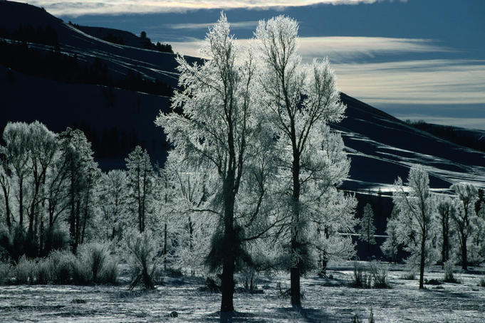 Frost on trees in Lamar Valley.
