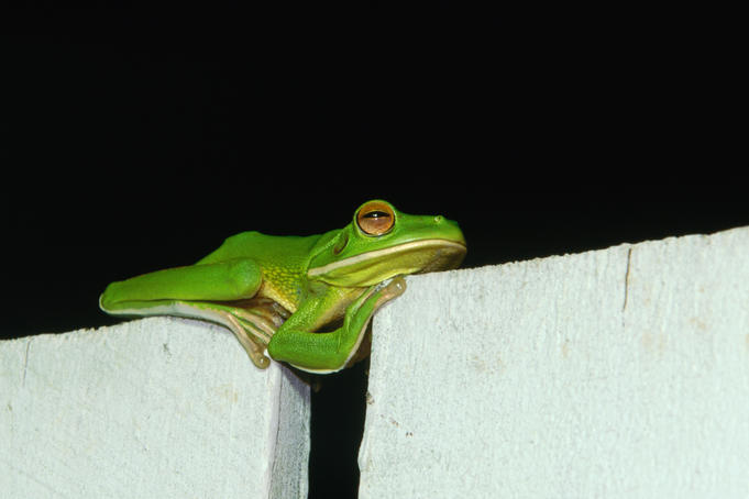 Sleeping green tree frog, a common visitor to homes in Cairns.