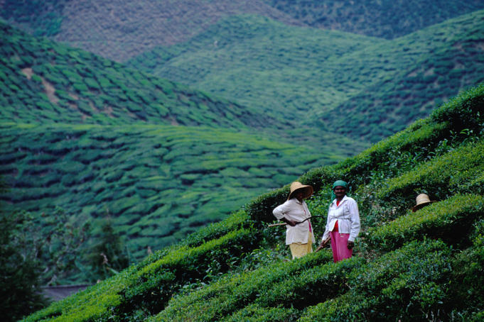 Workers in hills of tea plantation.