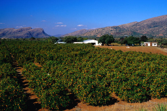 Orange orchards in Brits, an important agricultural area of South Africa