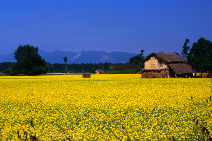 Thatched-roof house in Terai mustard field, near Royal Bardia National Park.