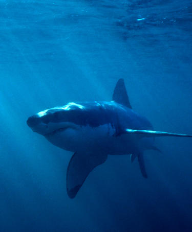 The Great White Shark (Carchias charcaradon) in Dyer Island waters, Gansbaai.