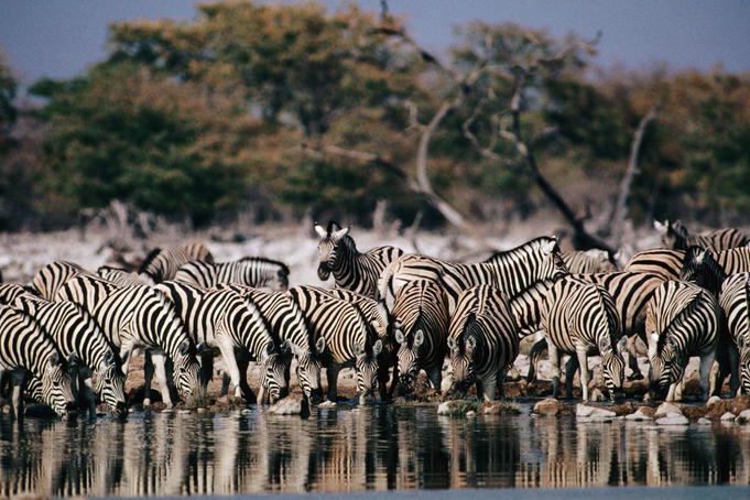 Zebra herd drinking at waterhole.