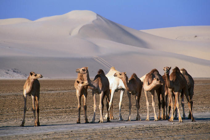 Wild camels and sand dunes in empty southeast quarter of Qatar.