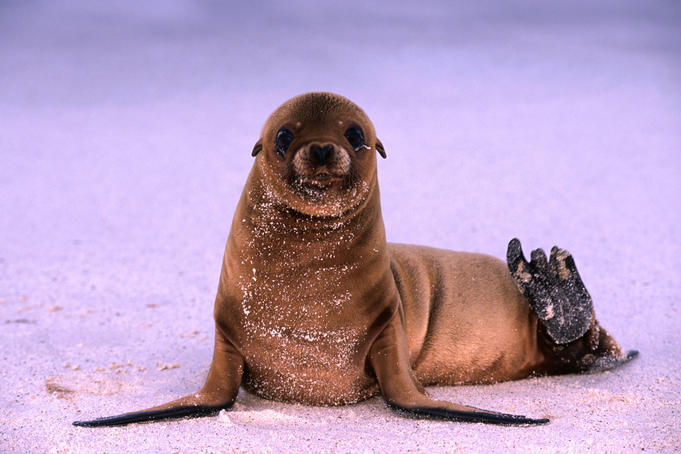Inquisitive Sea Lion pup with dustings of sand in the Galapagos islands.