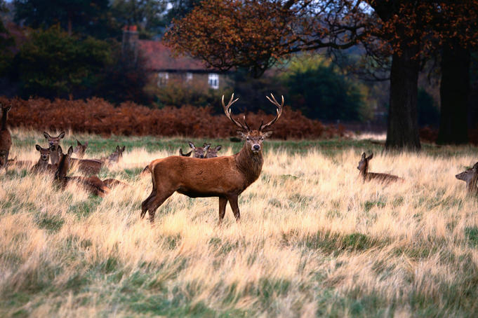 Deer ( Odocoileus virginianus ) in Richmond Park- London, Greater London, England