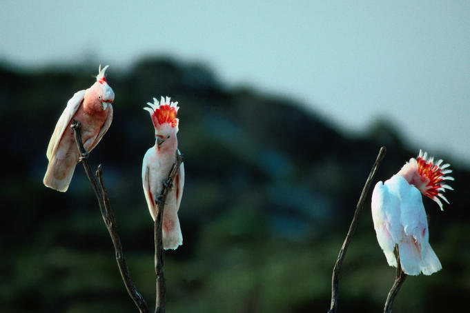 Three Major Mitchell Cockatoos on sticks - South-west Western Australia