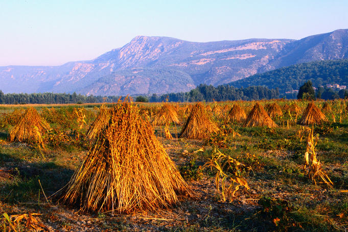 Sesame seed sheaths in the fields, South Aegean region