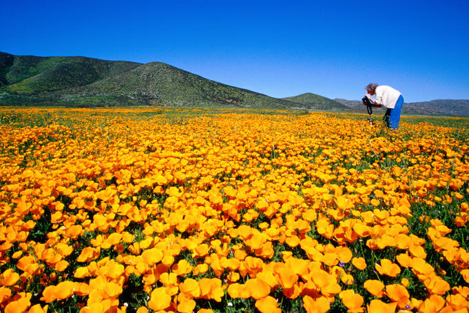 Photographer in field of California poppies, East County.