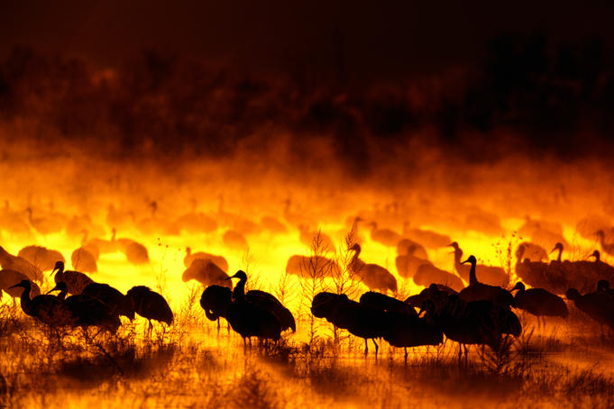 Sandhill cranes at dawn with backlit mist.