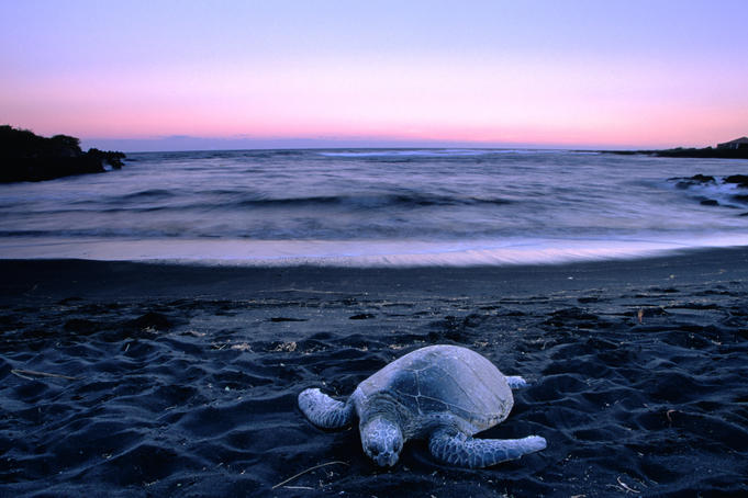 Green Sea Turtle (Chelonia Mydas) on black sand beach at dusk, Punaluu State Park.