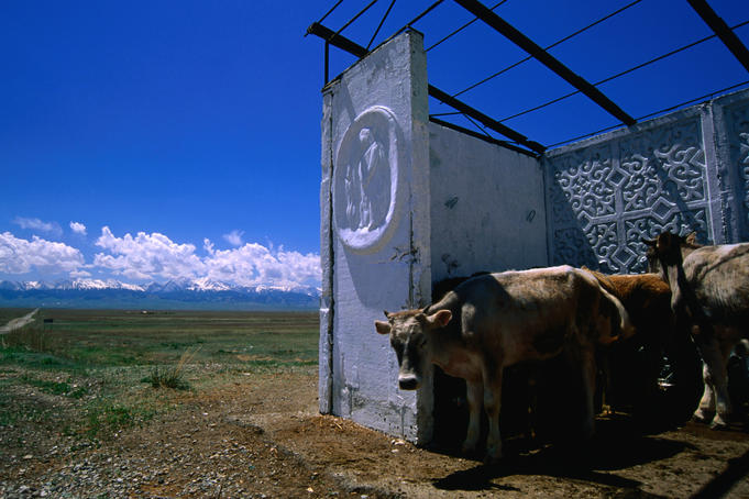 Cows wait in a bus shelter on the road outside Karkara in front of Tian Shan.