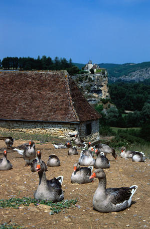 Geese for the Dordogne's most famous culinary product, foe gras, is made with fattened goose liver - Rocamadour, Quercy Region