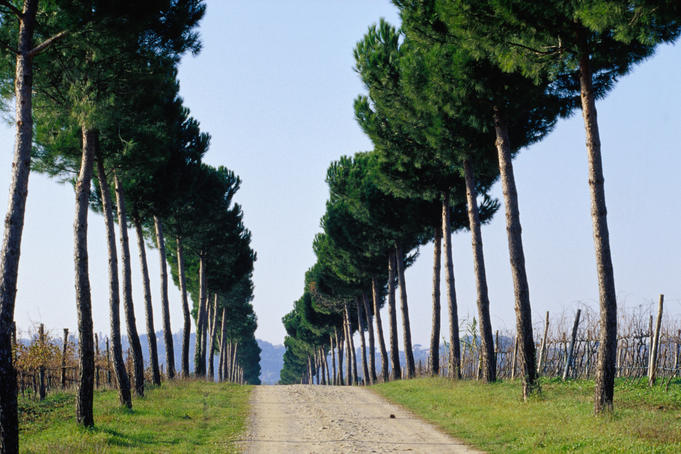 Tree-lined entrance to vineyard, Torgiano.