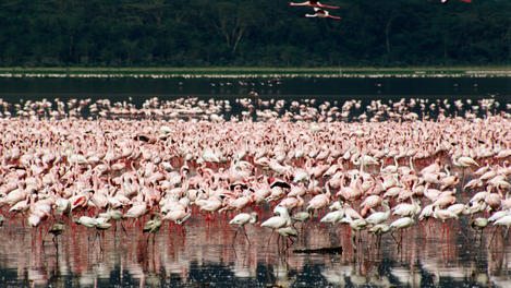 Flamingoes, Lake Nakuru National Park