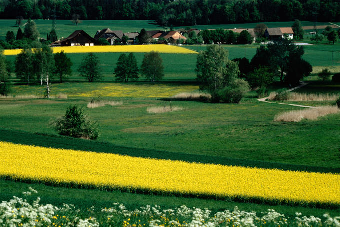 Rape fields and farmhouses in countryside.