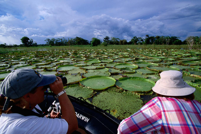 Giant water Lillies on Amazon River (Victoria amazonica).