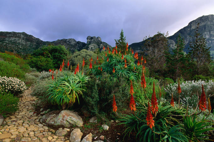 Aloes in Kirstenbosch National Botanical Garden.