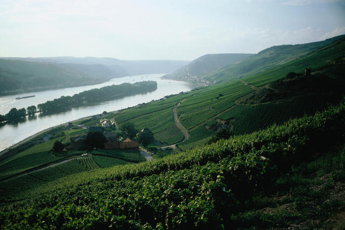 Rheingau vineyards on a hillside, overlooking the Rhine, reflecting the sunlight