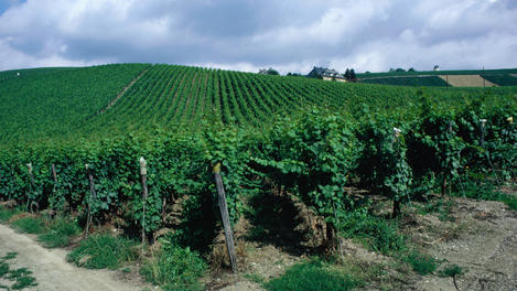 Grapevines, Rhine Valley