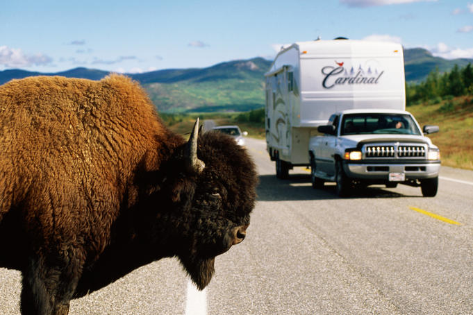 Bison beside the Alaska Highway with oncoming traffic.