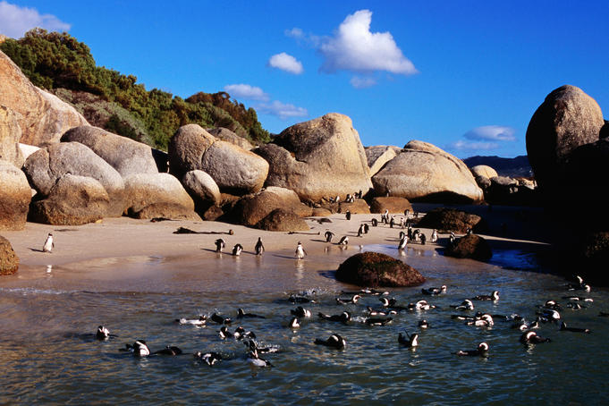 African (jackass) penguins (Spheniscus demersus) at Boulders Beach, False Bay.