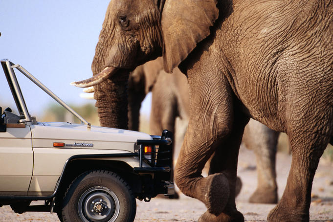 Adult elephant (Loxodonta africana) walks slowly past tour vehicle.