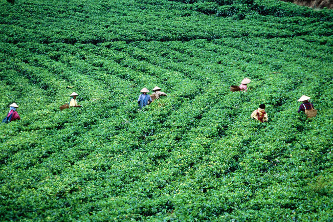 Overhead of tea-pickers, Tea Estate, Gunung Lawu.