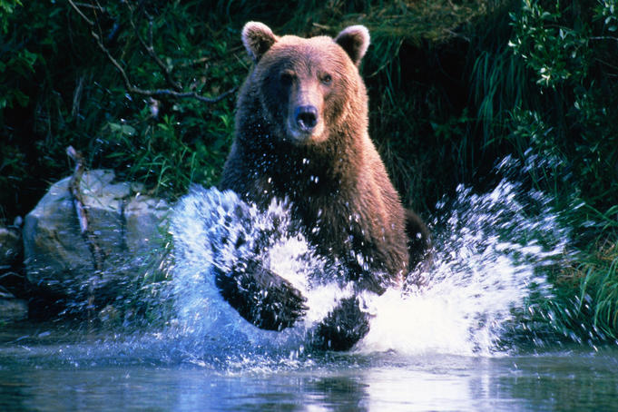 Grizzly bear running in Kinak Bay.